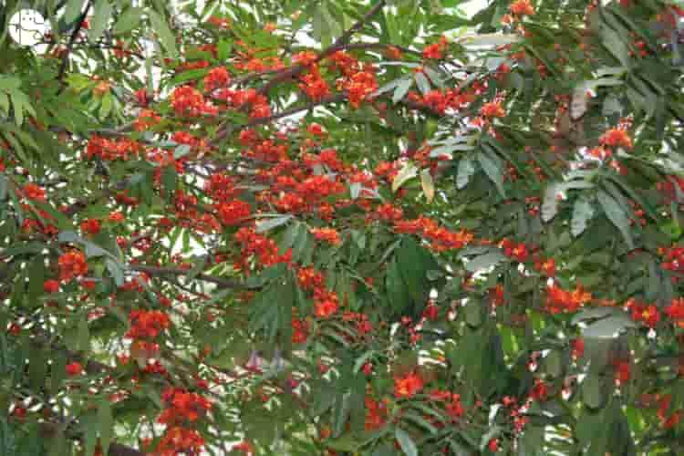 benefits of ashoka tree